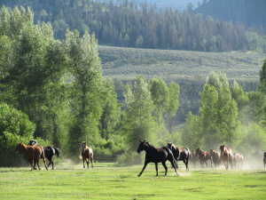 Horse stampede at our guest ranch in Jackson Hole Wyoming