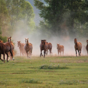 Horses stampede at Goosewing Ranch