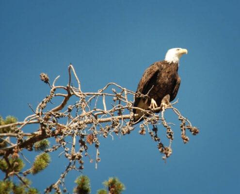 Bald eagle Jackson Hole
