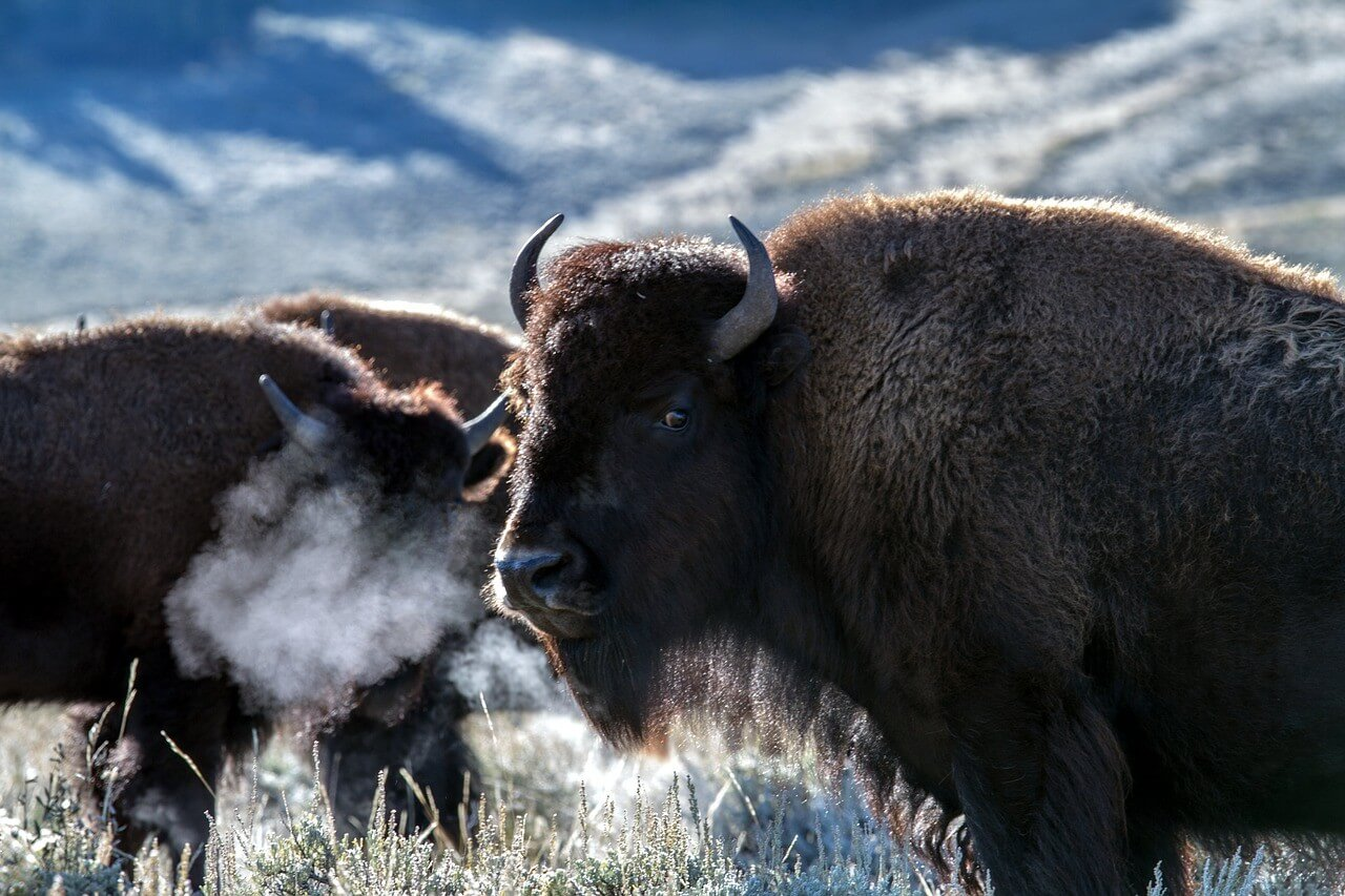 Lamar Valley is loaded with bison! Most our animal sightings in Yellowstone were in either Lamar Valley or Hayden Valley.