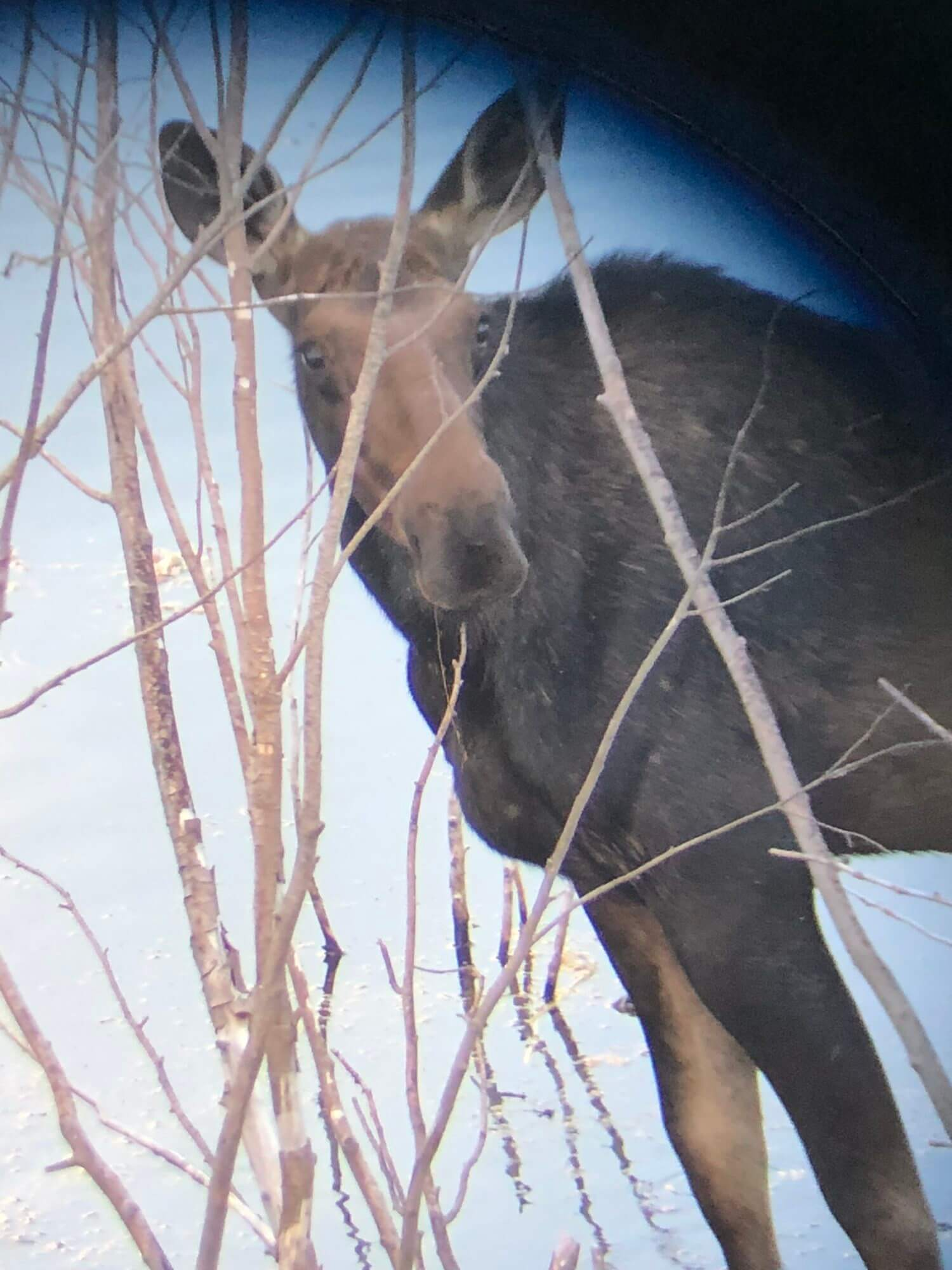 What to expect on a Jackson Hole wildlife safari: using spotting scopes to see animals like this moose.