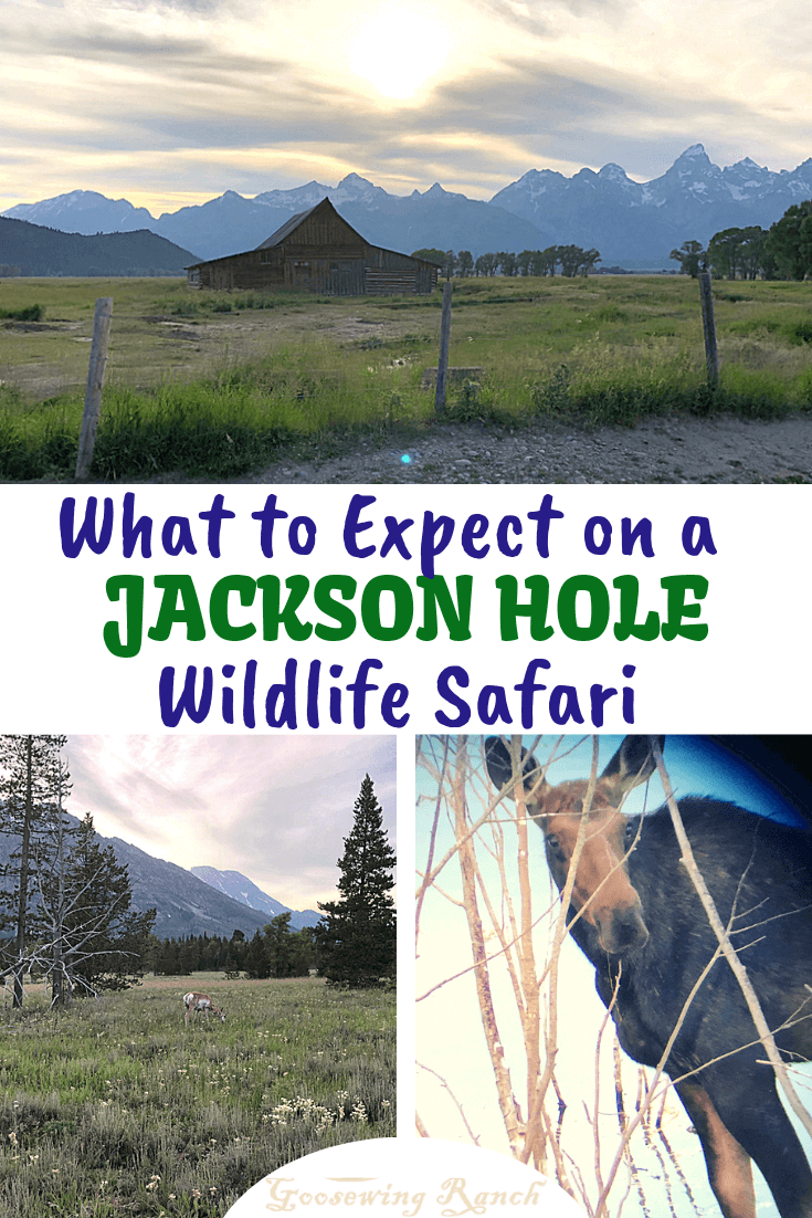 What to Expect on a Jackson Hole Wildlife Safari? Great scenery, tons of park history, photo worthy spots, and oh yeah, probably some wildlife! Whether a half day or full day tour, learn all about the ins and outs of these animal-centric tours and why you want to try one while visiting Grand Teton National Park. #JacksonHole #wildlifesafari #wildlifetour #nationalpark #GrandTeton #findyourpark